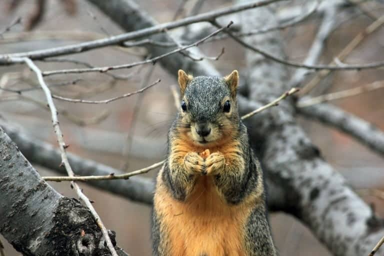 squirrel in a grey tree holding food